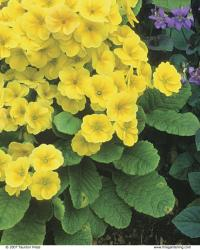 Polyanthus primroses are old-fashioned hybrids