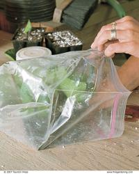 Place the tray of cuttings into a plastic bag.