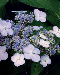 Bigleaf hydrangeas (H. serrata cvs., Z 6–9)