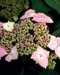 H. macrophylla 'Lilacina'