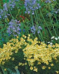 Golden Marguerites