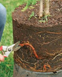 cut thick woody roots