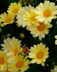Marguerite (Argyranthemum frutescens)