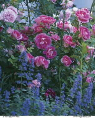 Pleasant English Roses Anchor An American Shoreline Garden Interior Design Ideas Tzicisoteloinfo