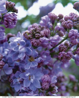 'Henri Robert' French Lilac Hybrid