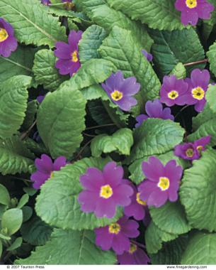Though rare in cultivation, P. abschasica is a robust, long-lived primrose