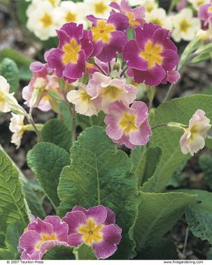 Polyanthus primroses