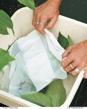 Keep your cuttings cool and moist while collecting them.