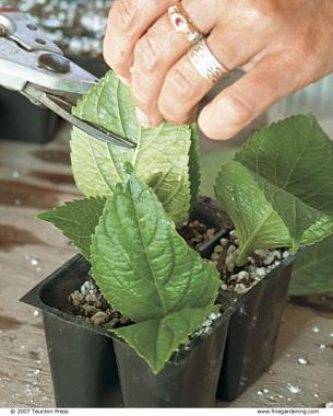 Trim each set of leaves to minimize transpiration loss.
