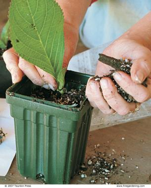 Pot up rooted cuttings into quart-size containers.