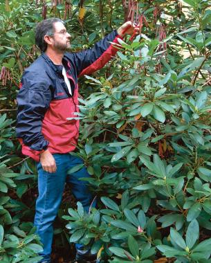 Despite The Common Notion That Rhododendrons Can T Be Pruned These Shrubs Respond Well To