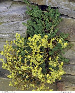 yellow-blooming S. reflexum