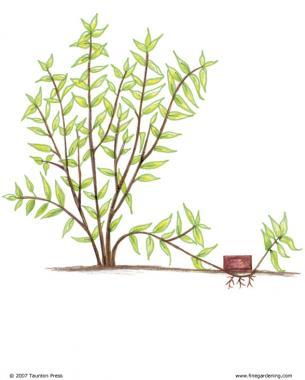 shrub roots diagram