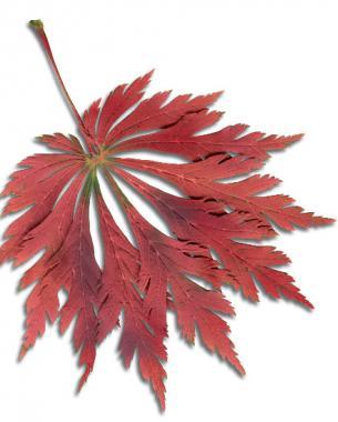 'Aconitifolium' fall color