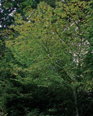 'Aconitifolium' in the summer