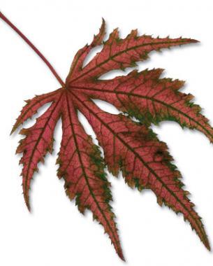 'Aka shigitatsu sawa' fall color