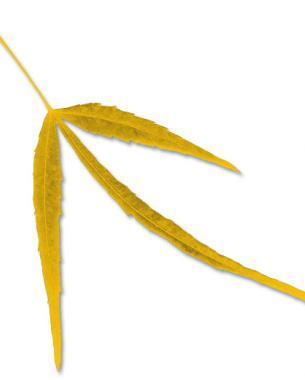 'Koto no ito' fall color