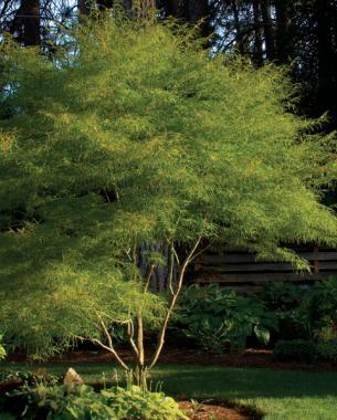 Summer green of 'Koto no ito'