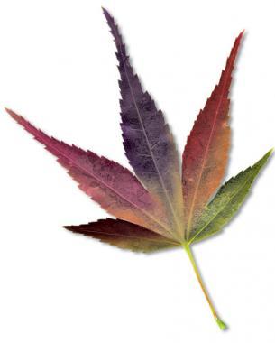 'Mikawa yatsubusa' fall color
