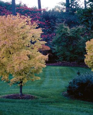Fall color of 'Sango kaku'