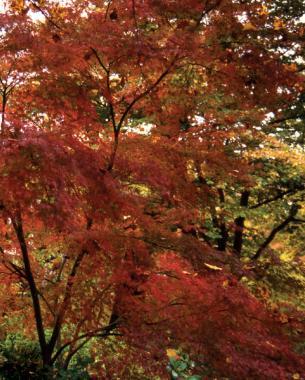 Fall color of 'Seiryu'