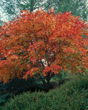 'Vitifolium' in autumn