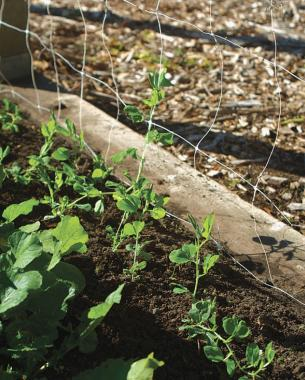Tall vining sweet peas will grow happily on almost any kind of vertical support. It doesn't take long for sweet peas to climb, so place your supports at planting time. Photo/Illustration: Jennifer Benner