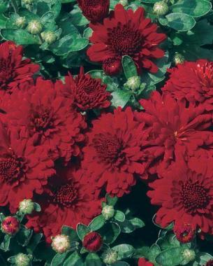 'Bravo' Chrysanthemum