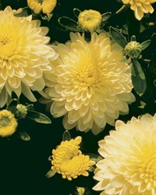 'Linda' Chrysanthemum