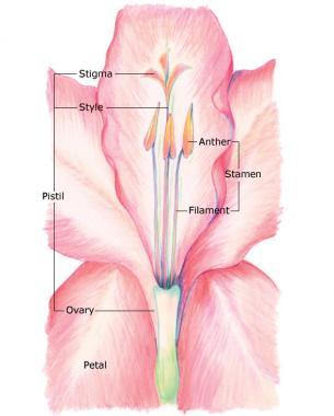 Diagram of Gladiolus Hybrids