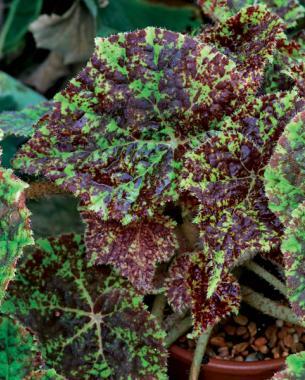 Begonia 'Marmaduke'