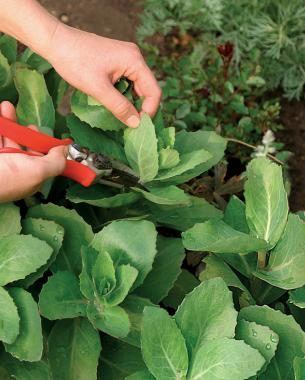 snip in late spring or early summer avoid staking