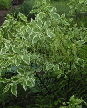'Elegantissima' red-twig dogwood (Cornus alba 'Elegantissima')