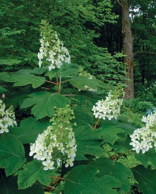 'Snowflake' oakleaf hydrangea