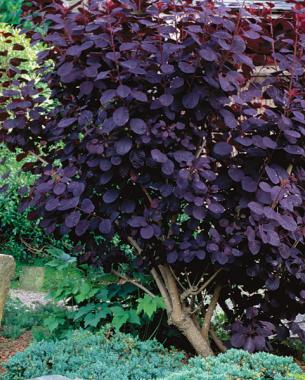 Purple smoke bushes (Cotinus coggygria cvs.)