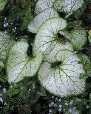 Big Leaved Perennials Finegardening