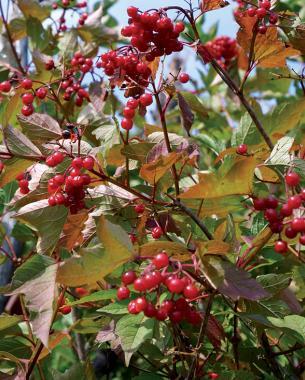 cranberry fall fruit
