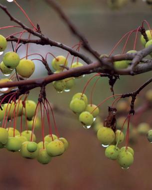 harvest gold fall fruit