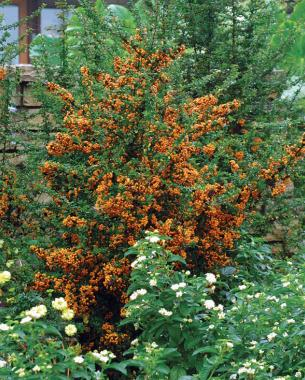 teton firethorn fall fruit