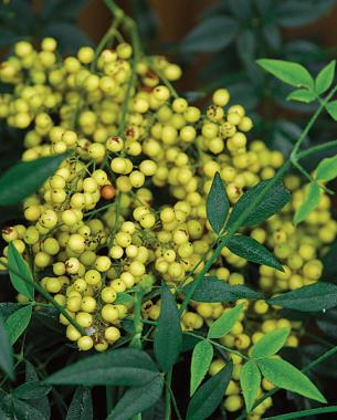 white-fruited nandina