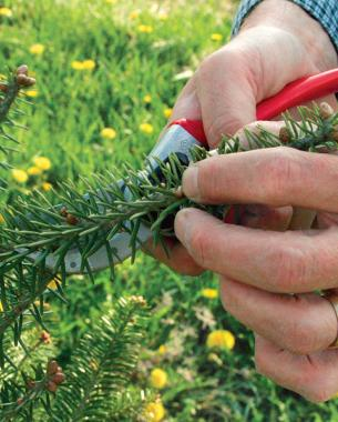 How to Prune Conifers - FineGardening