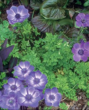 Blue poppy anem­one (Anemone coronaria 'Mr. Fokker') with purple heart (Tradescantia pallida 'Purple Heart')