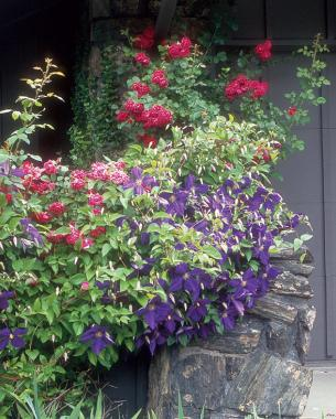 A dazzling duo of red 'Blaze' rose (Rosa 'Blaze') and purple Jack­man clematis (Clematis 'Jack­manii')