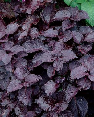 Heliotrope (Heliotropium arborescens cv.) and 'Dark Star' coleus (Solenostemon scutellarioides 'Dark Star')