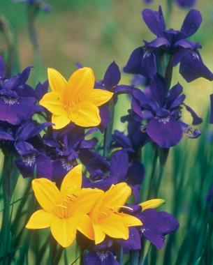Purple and yellow: Golden daylilies (Hemerocallis cv.) illuminate the luxurious dark purple of a Siberian iris (Iris cv.)