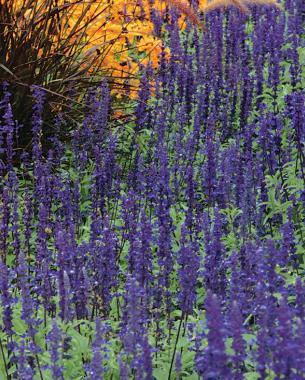 Salvia (Salvia farinacea)