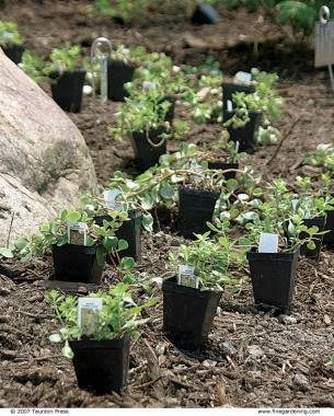 Planting Ground Covers - FineGardening
