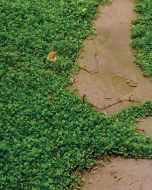 Low Maintenance Alternatives To Lawns