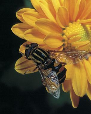 Syrphid Flies