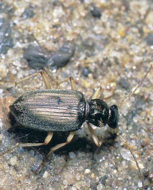 Ground Beetles